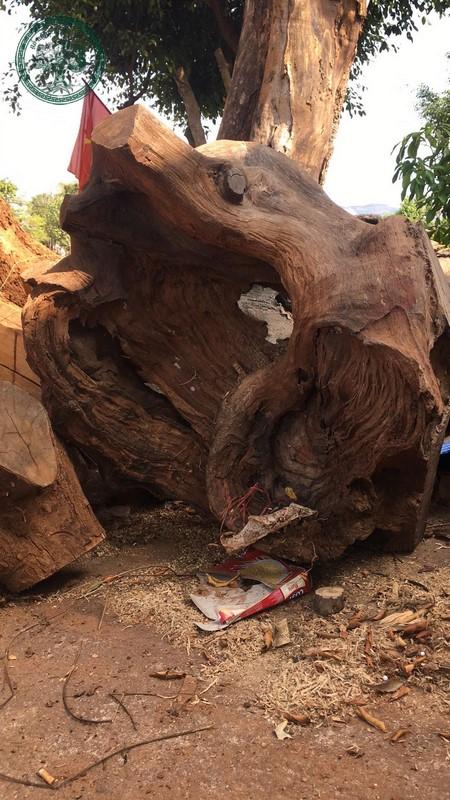 Phôi gỗ lũa hương quý hiếm lúc chưa thành hình