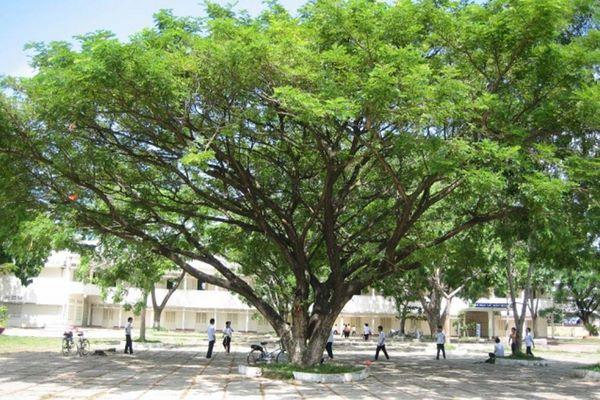 cây me tây có tán lớn tỏa bóng mát tại trường học